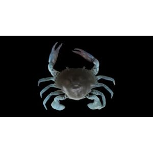 """TPE CRAB 2"""" BLUE CRAB (SAVAGE GEAR)"""